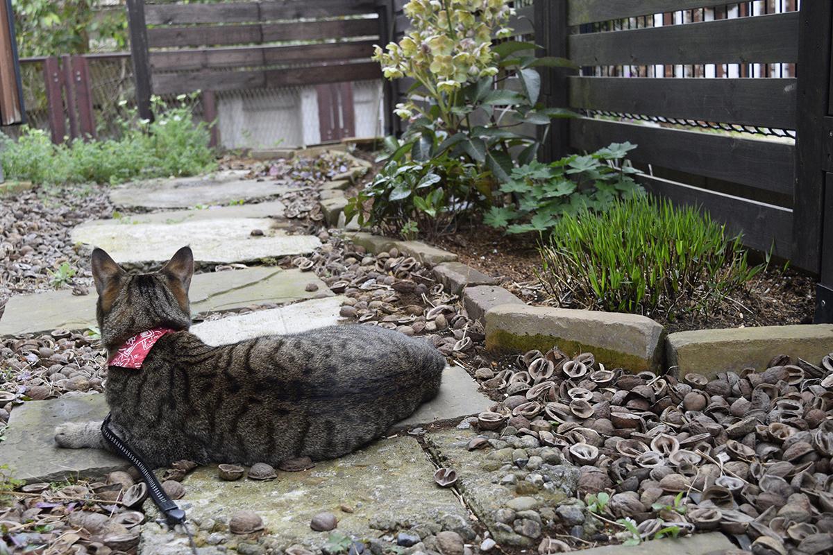 庭から通りを見つめるキジトラ猫の虎ノ介