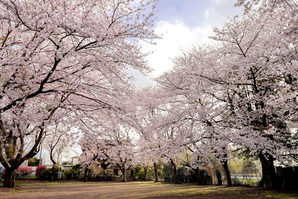 桜の花が咲いた公園