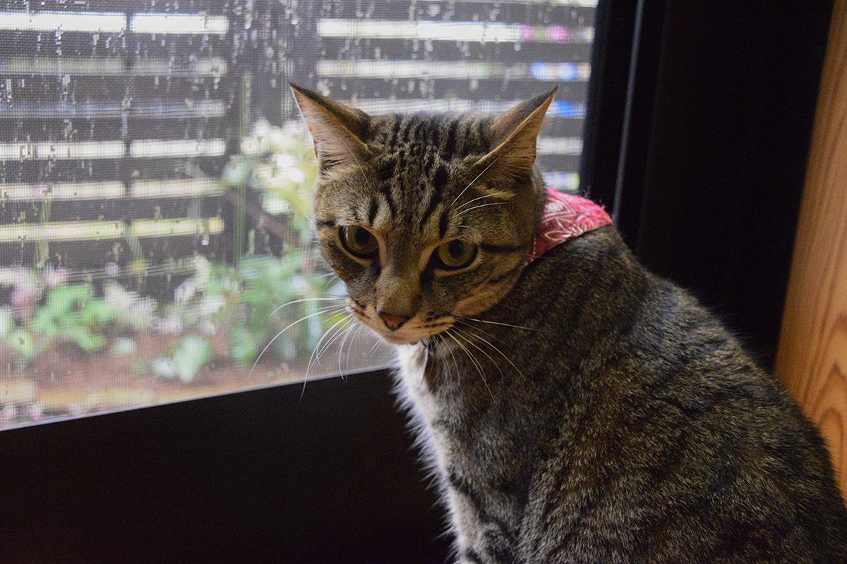 雨がふって散歩に出られず不機嫌なキジトラ猫の虎ノ介