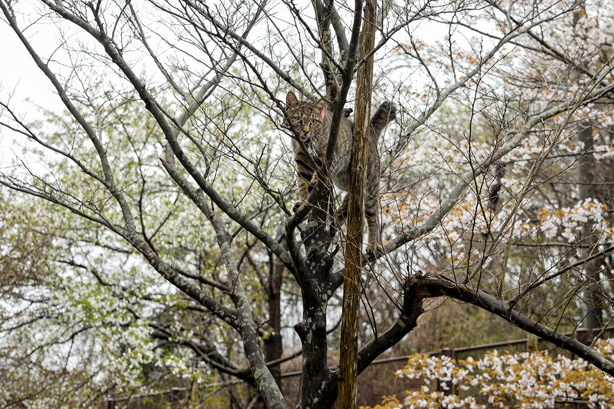 高いところにのぼって降りられなくなるキジトラ猫の虎ノ介