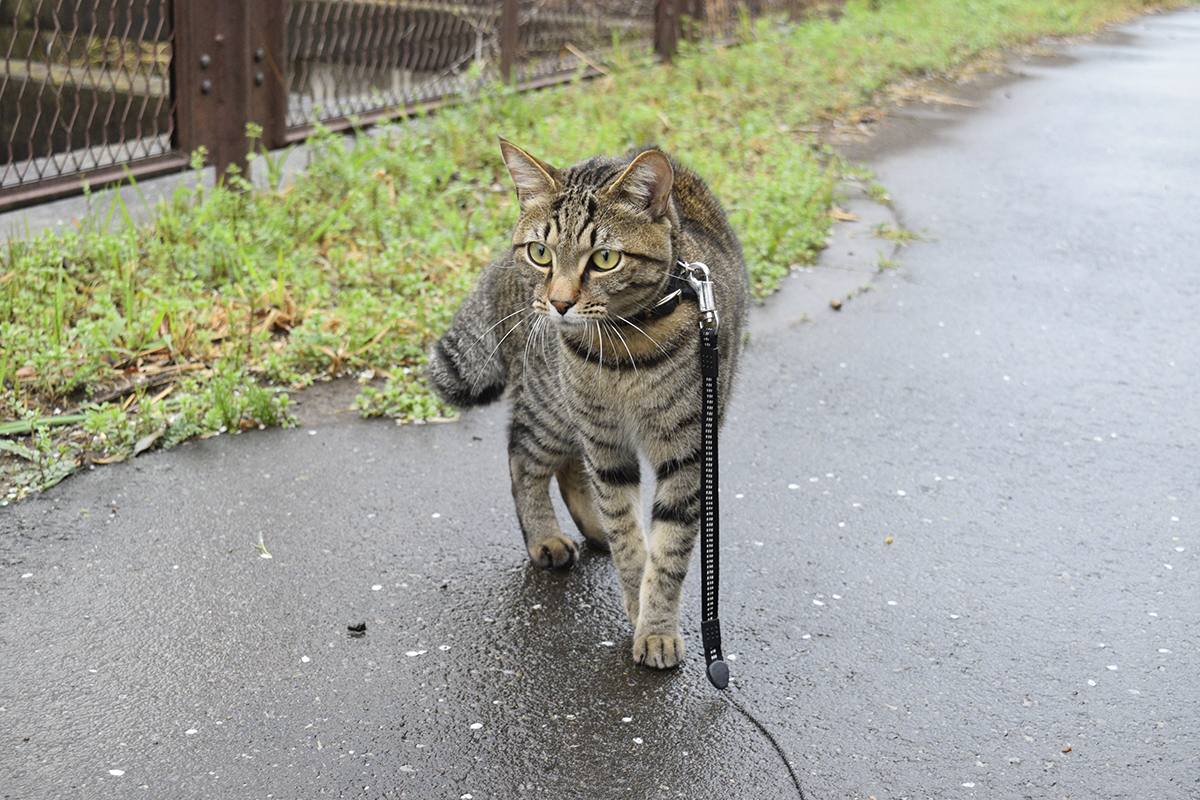 見知らぬおじさんを警戒するキジトラ猫の虎ノ介