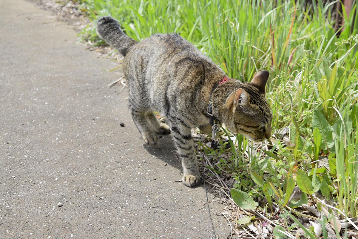 草のにおいをかぐキジトラ猫の虎ノ介