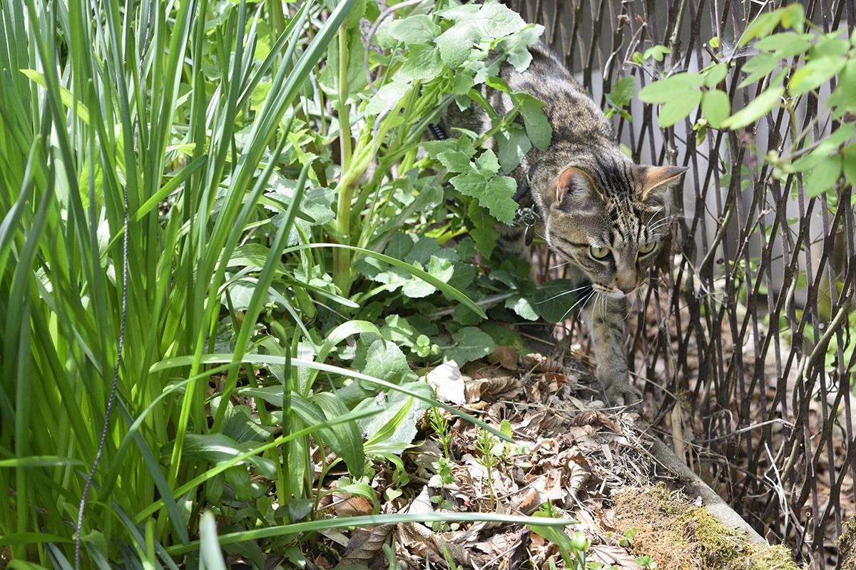草の中を通り抜けるキジトラ猫の虎ノ介