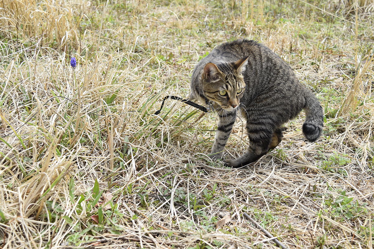 蝶を発見したキジトラ猫の虎ノ介