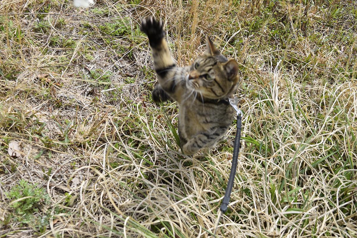 蝶に襲い掛かるキジトラ猫の虎ノ介