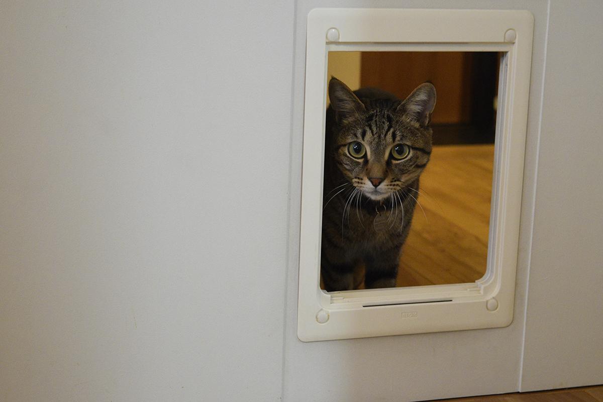 元キャットドアから顔をだして人間を狙うキジトラ猫の虎ノ介