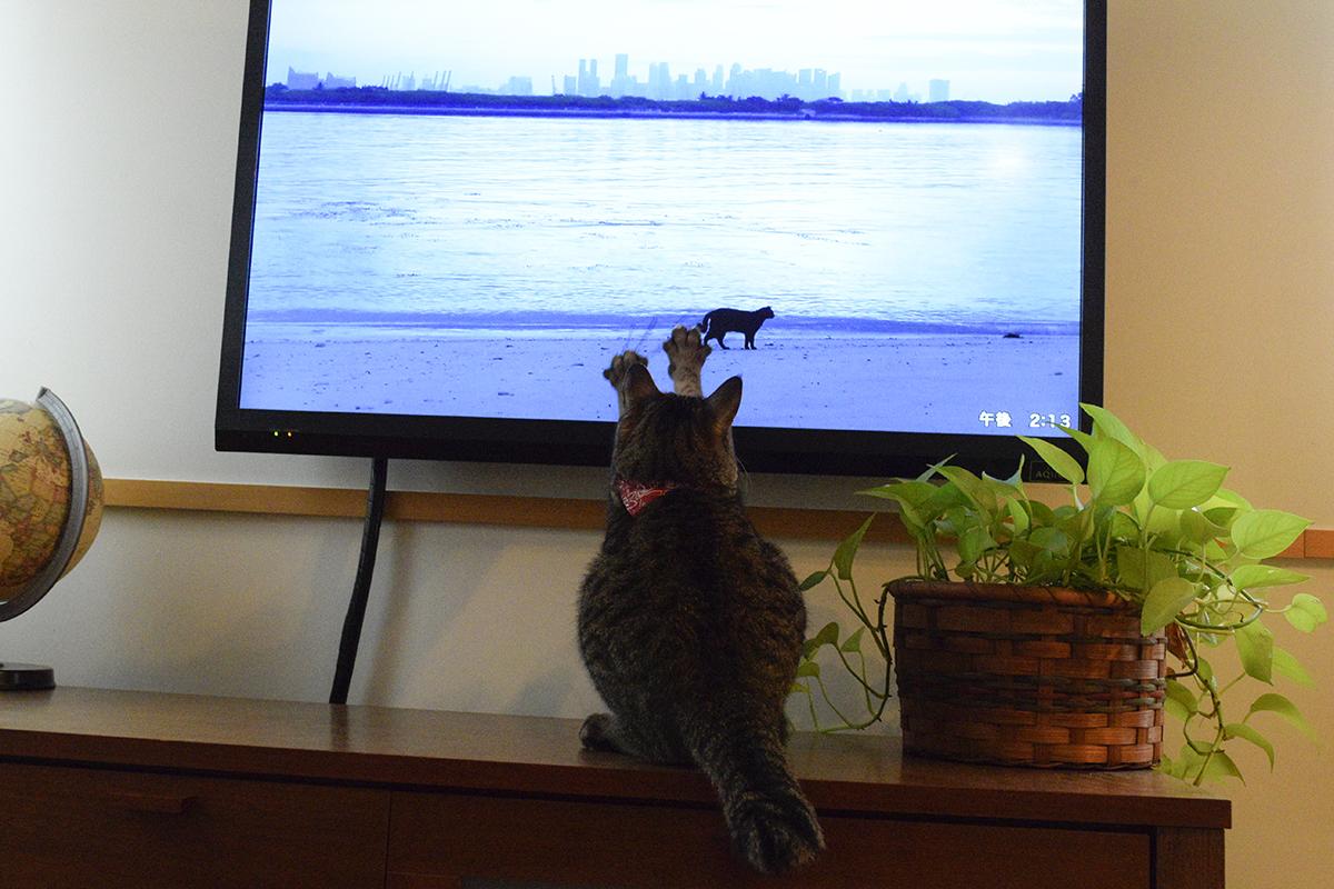 ネコ歩きの画面に反応してテレビをひっかく虎ノ介