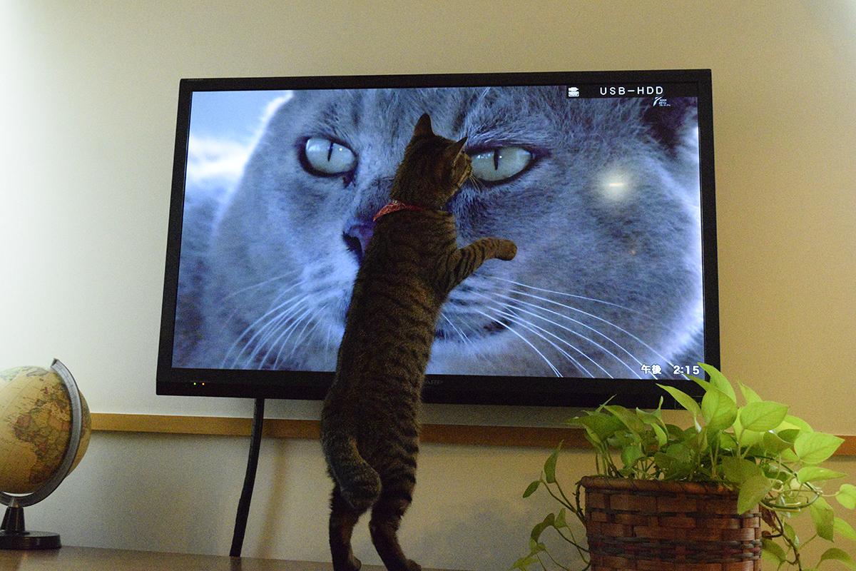 世界ネコ歩きをみるキジトラ猫の虎ノ介