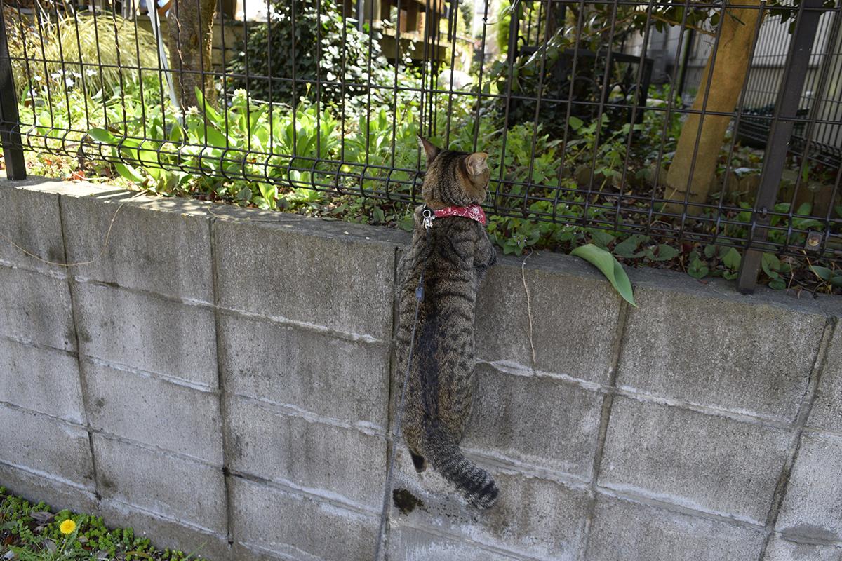 ブロック塀に捕まる虎ノ介