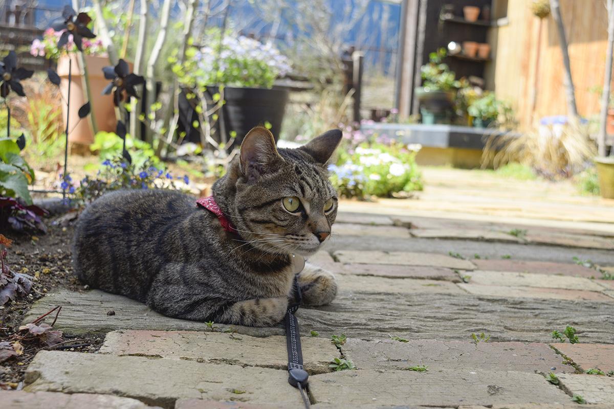 お庭を見張るキジトラ猫の虎ノ介