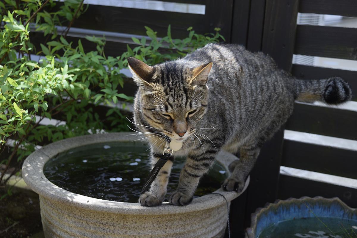 水鉢の上をあるくキジトラ猫の虎ノ介
