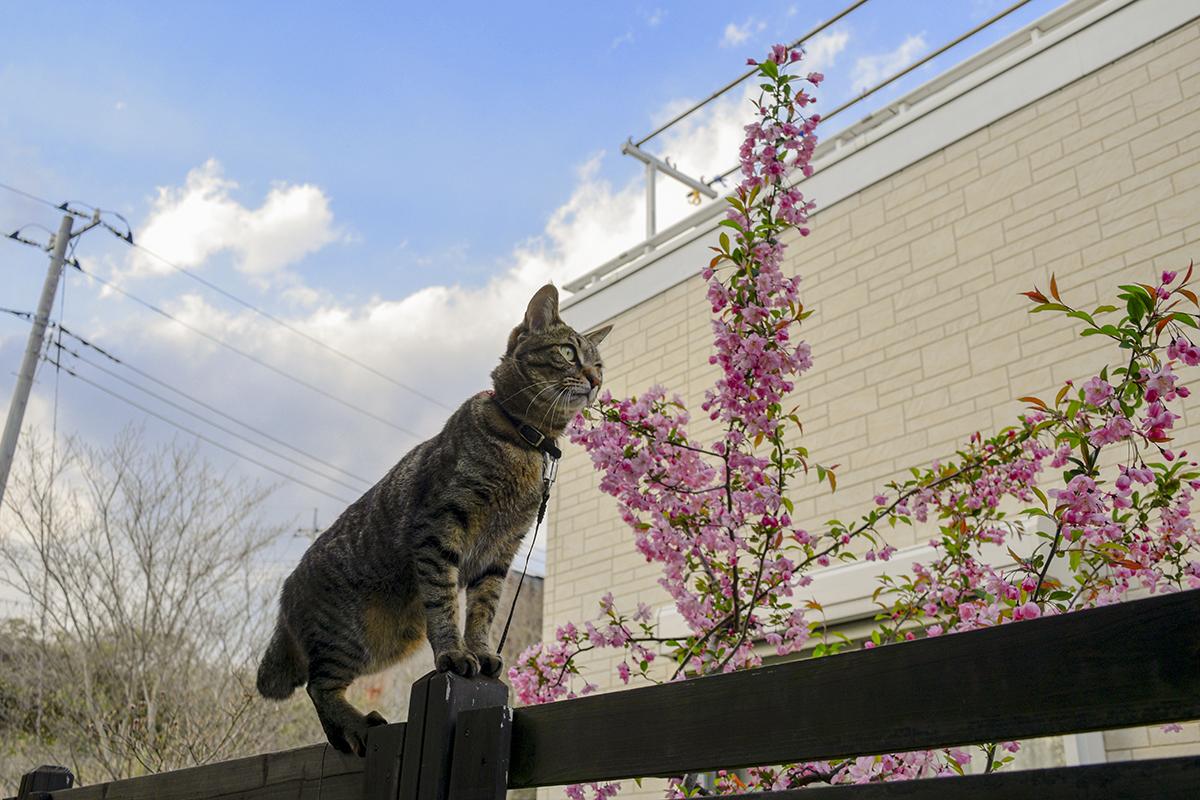 フェンスの上を歩く虎ノ介