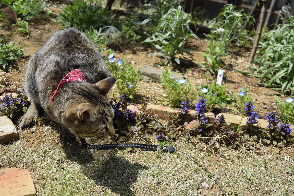 カナヘビを探すキジトラ猫の虎ノ介