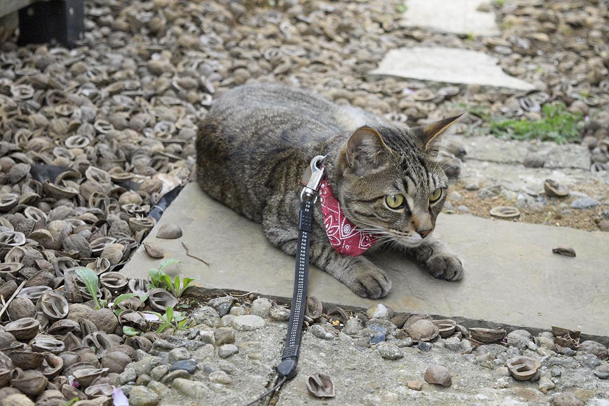 カナヘビをじっと待つキジトラ猫の虎ノ介