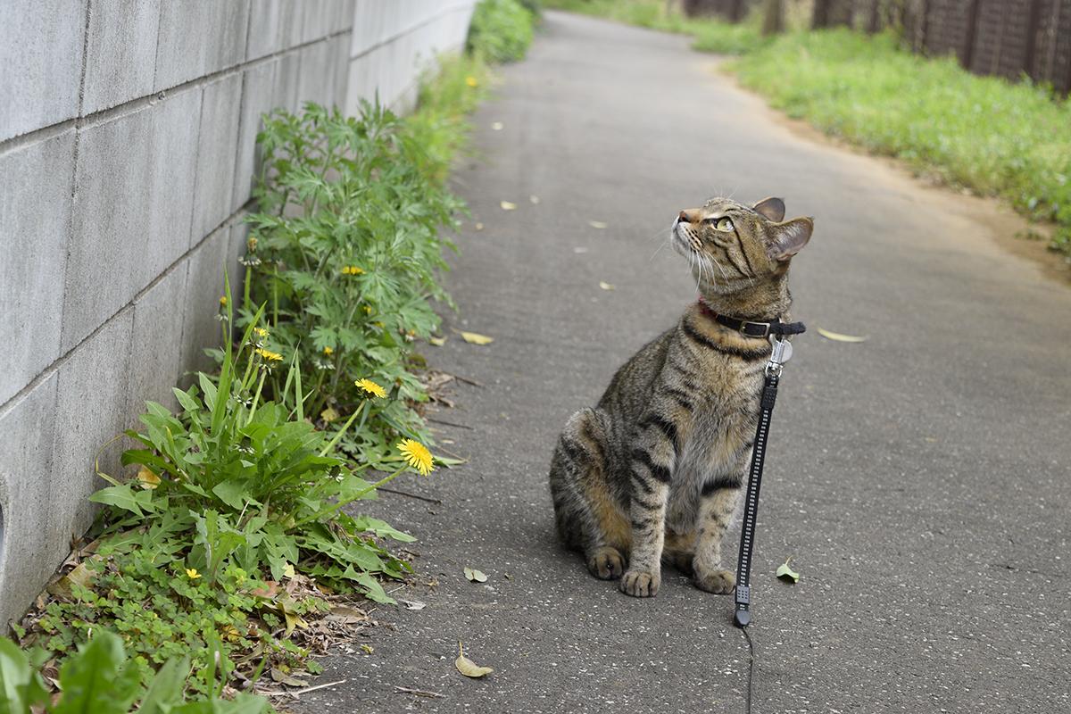 ポカポカの中でお散歩するキジトラ猫の虎ノ介