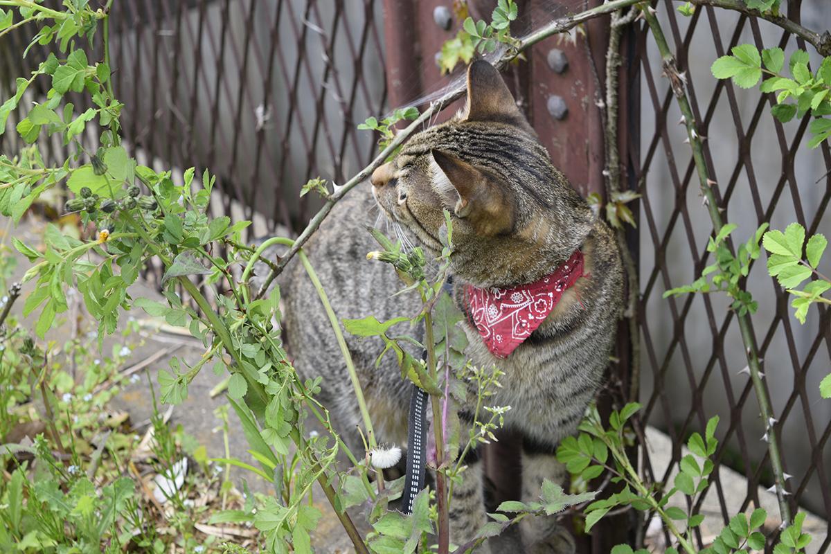 トゲに反応するキジトラ猫の虎ノ介