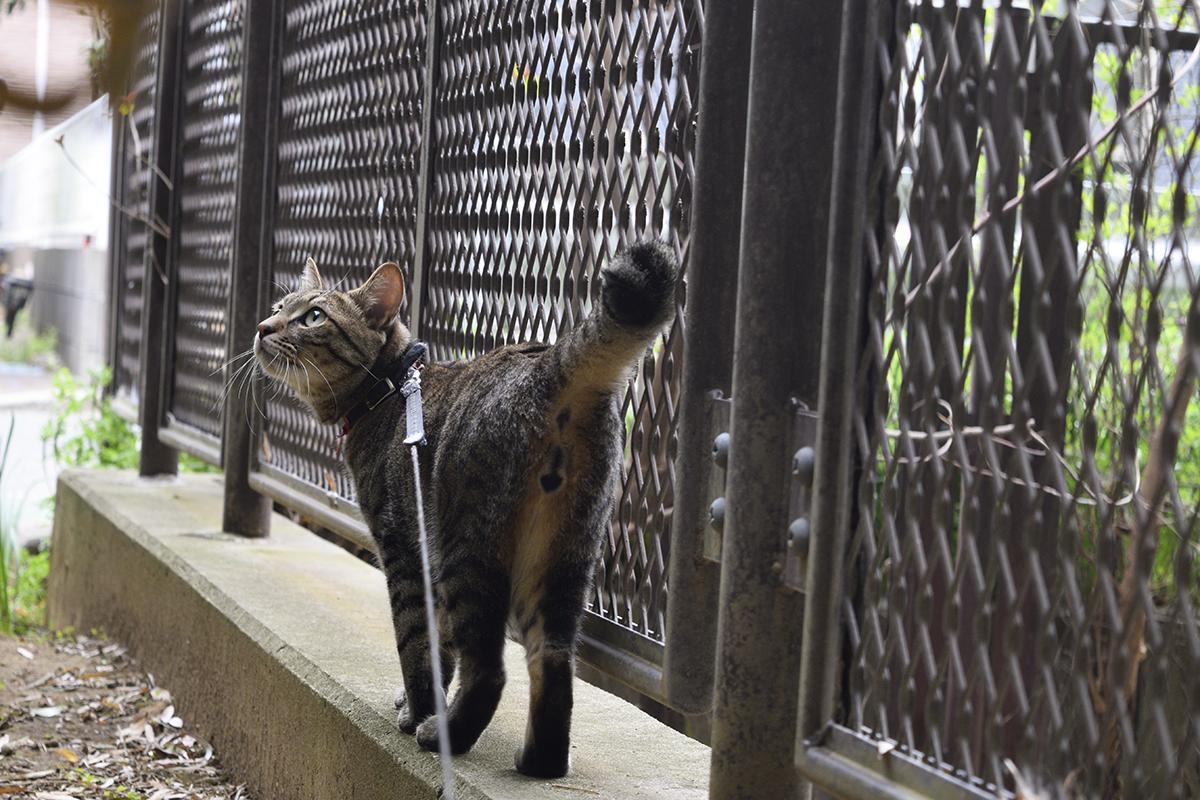 竹林の音に反応するキジトラ猫の虎ノ介