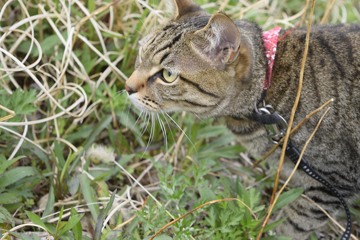 バッタを追うキジトラ猫の虎ノ介
