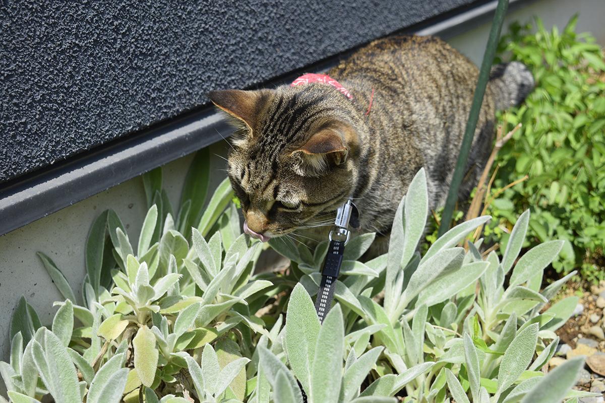 カナヘビを発見したキジトラ猫の虎ノ介