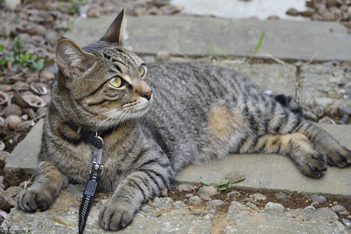 カナヘビがでてくるのを待つキジトラ猫の虎ノ介