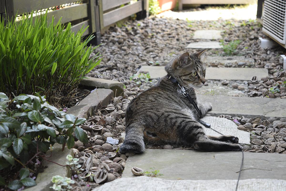 カナヘビを待つキジトラ猫の虎ノ介