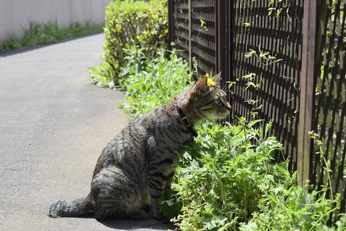 タンポポをのせたまま移動したキジトラ猫の虎ノ介