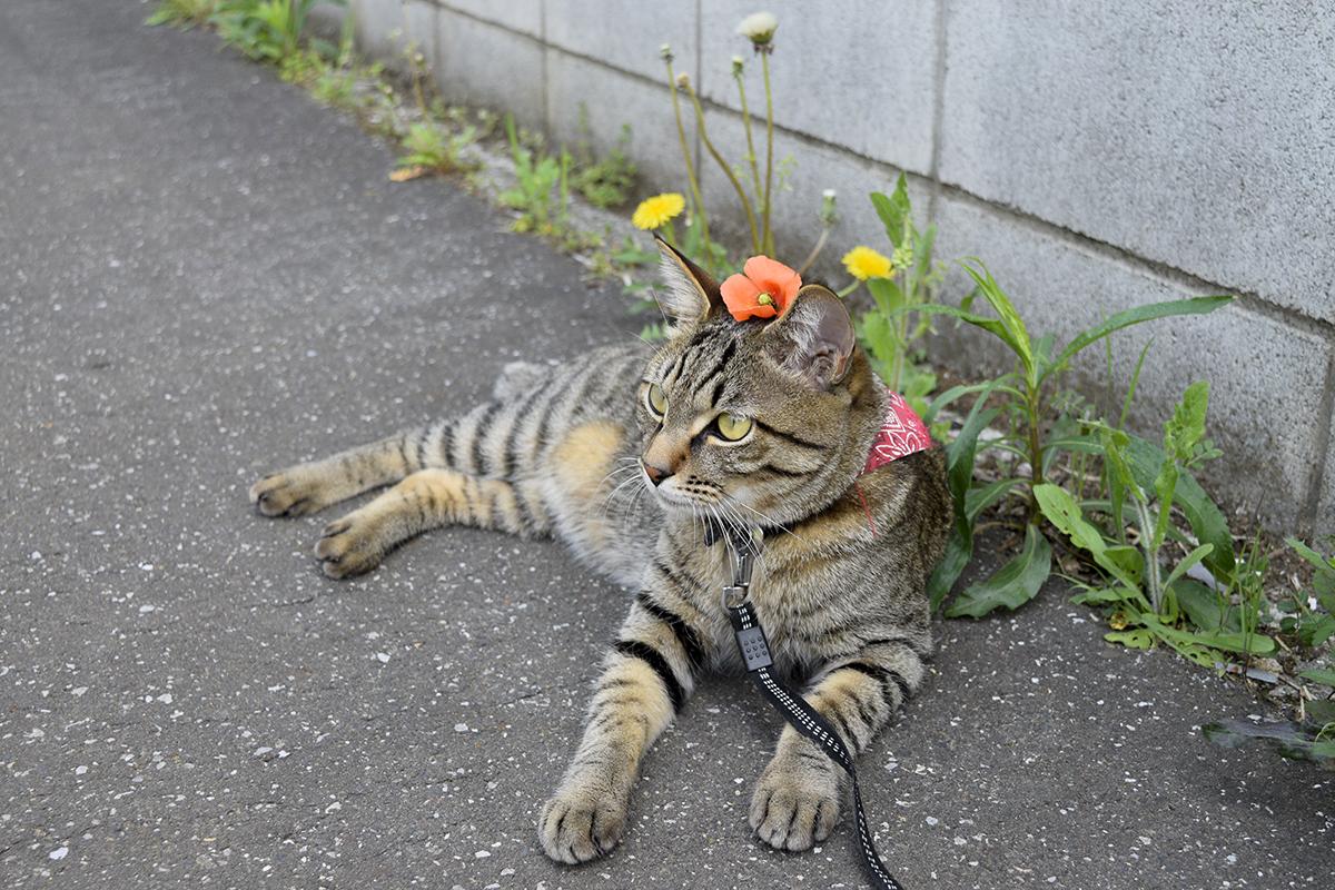 ナガミヒナゲシを頭にのせたキジトラ猫の虎ノ介