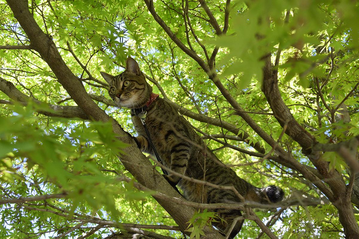 蜂を捕まえるため木に登ったキジトラ猫の虎ノ介