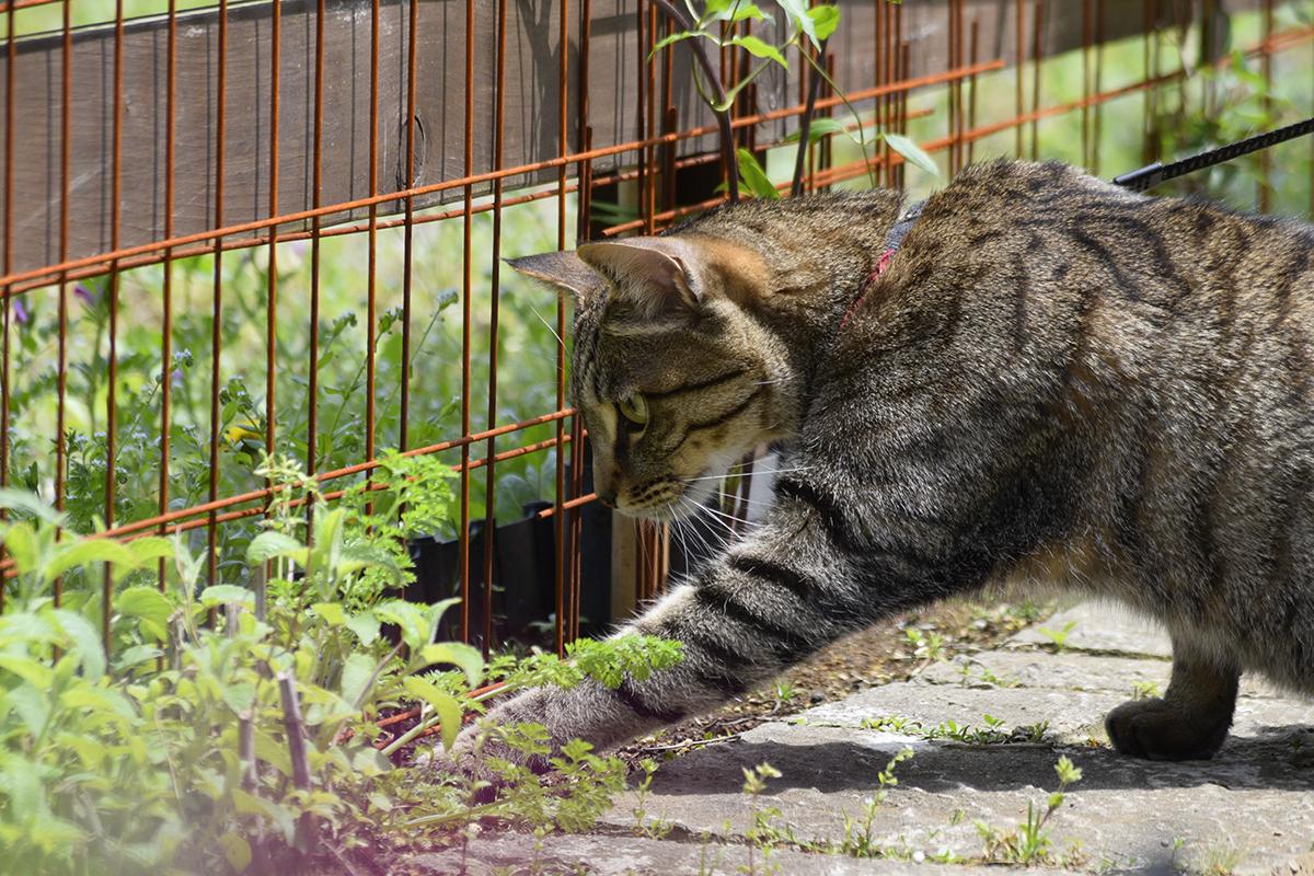 虫を捕まえるキジトラ猫の虎ノ介