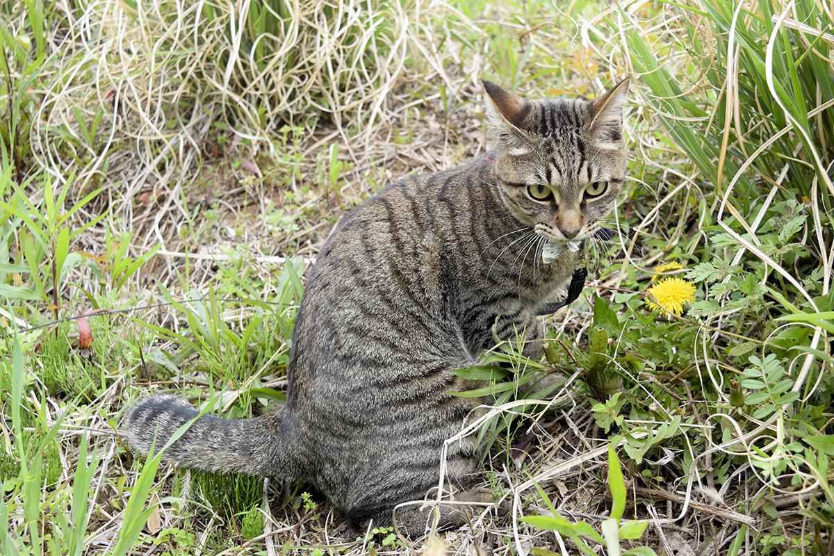 蝶をくわえるキジトラ猫の虎ノ介