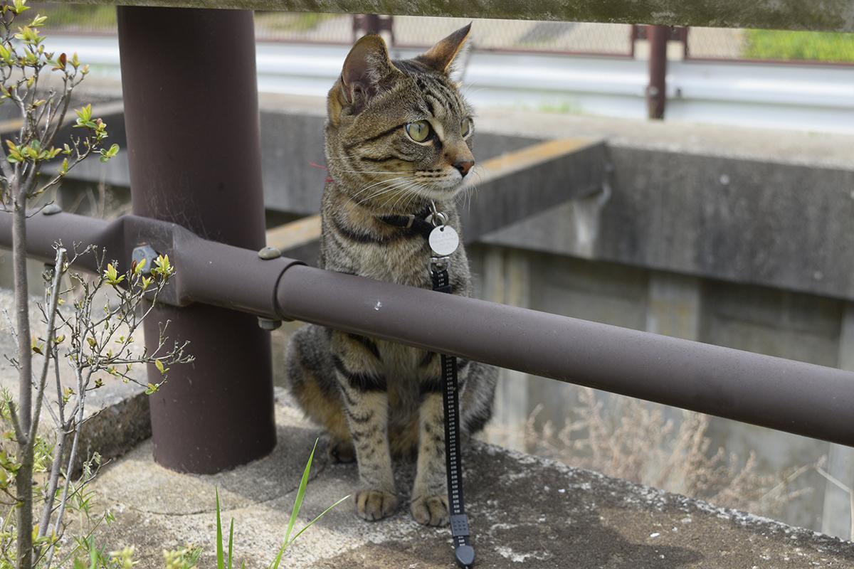 散歩中に逃走経路を考えるキジトラ猫の虎ノ介