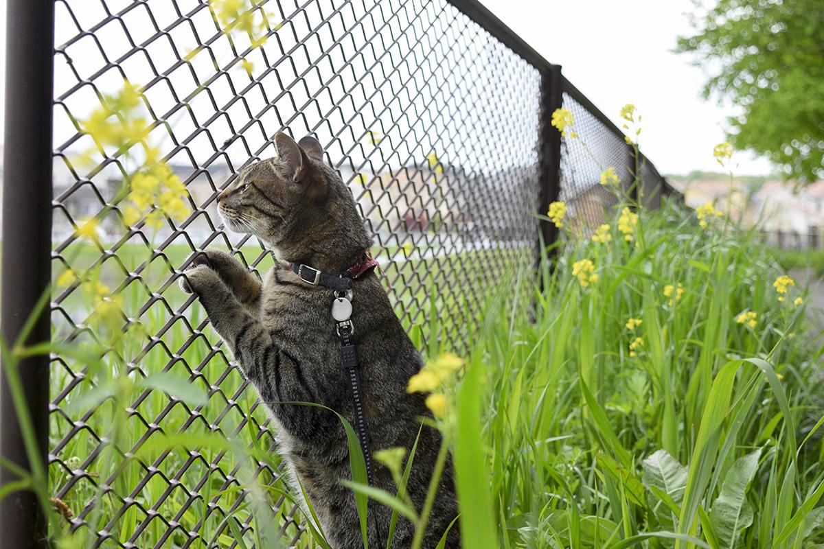フェンスにはりついてカモを探す虎ノ介