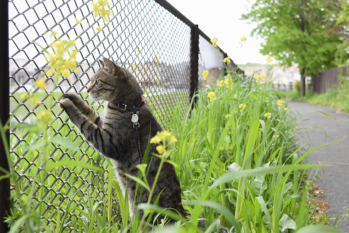 再びフェンスにしがみついて調整池をみるキジトラ猫の虎ノ介