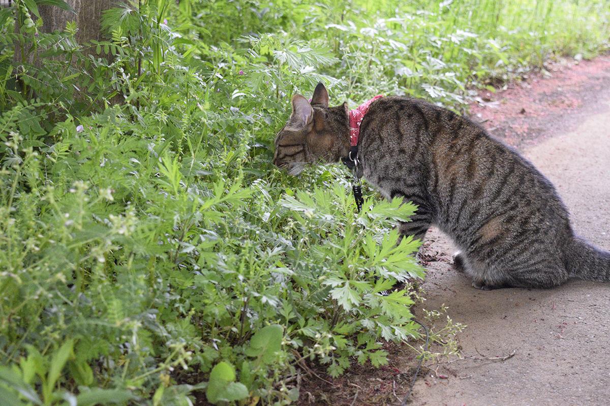 草のにおいをフンフンしながら嗅ぐキジトラ猫の虎ノ介