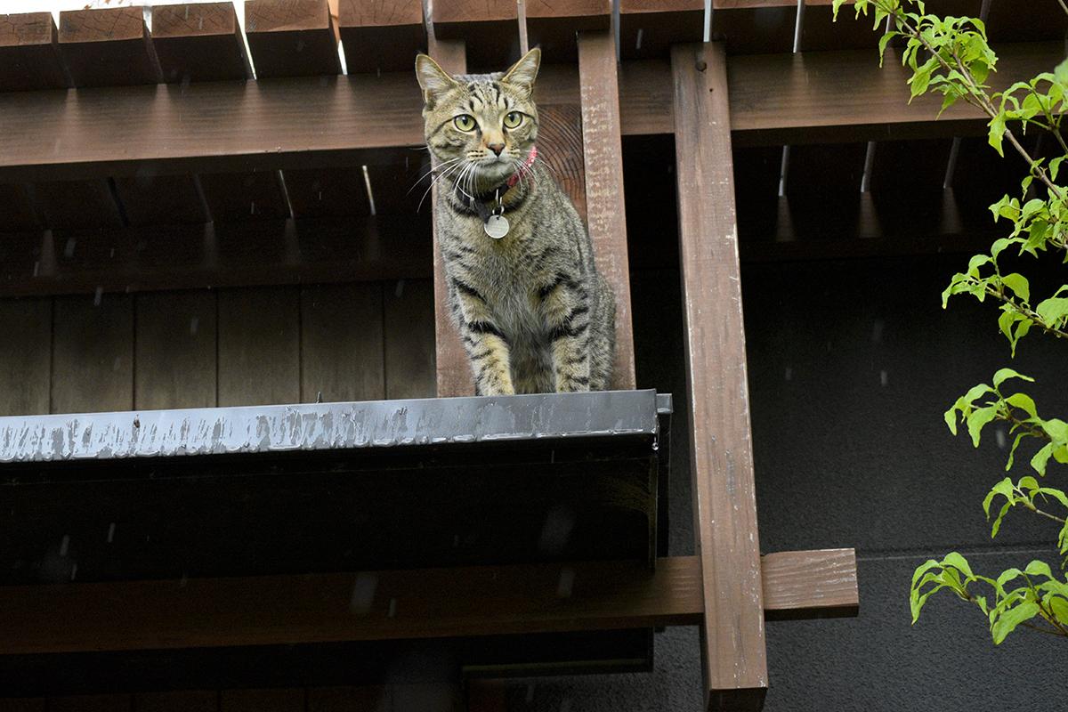 集中豪雨の中脱走をもくろんだキジトラ猫の虎ノ介