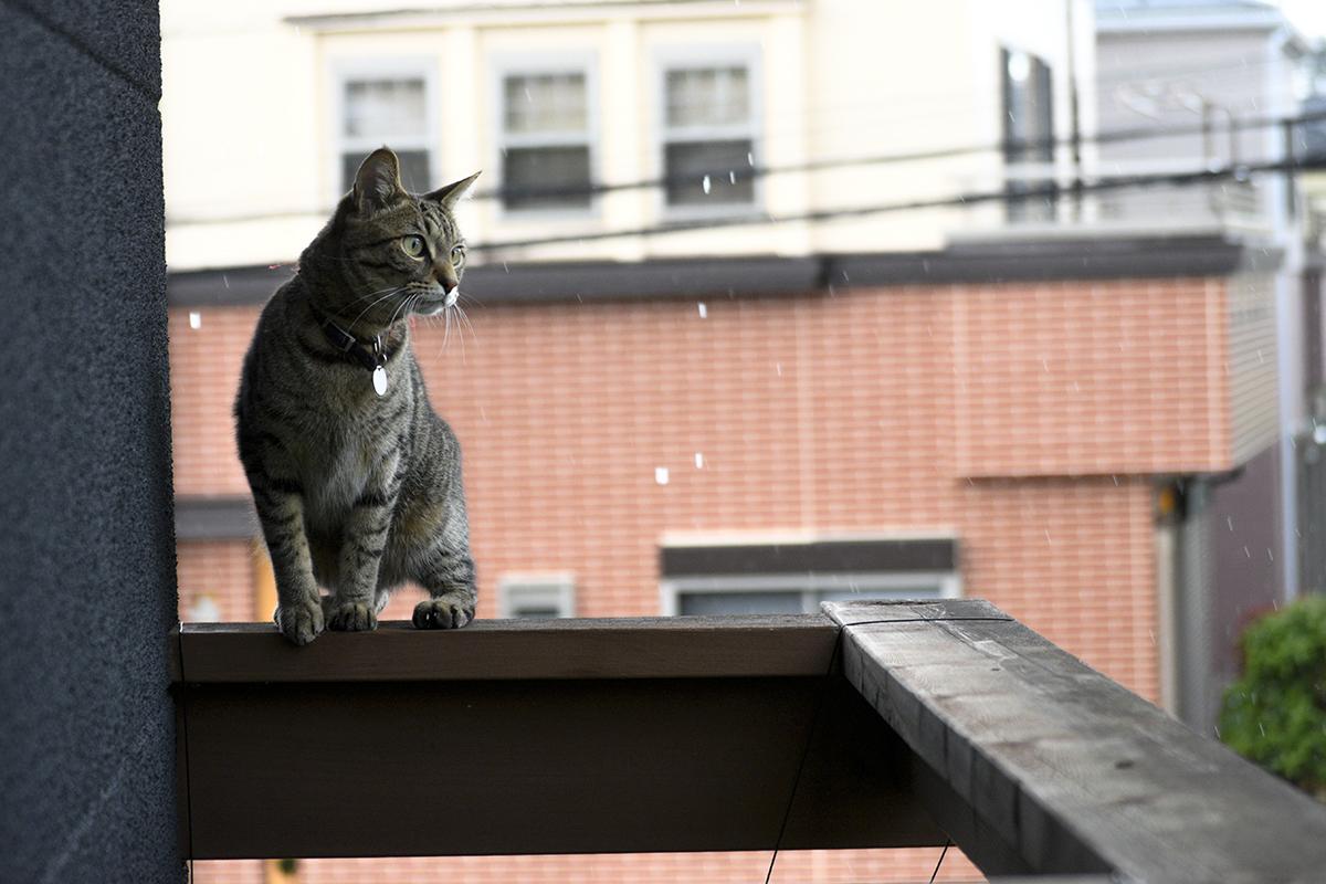 手すりの上でくつろぐキジトラ猫の虎ノ介