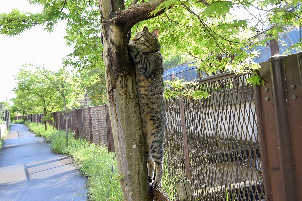 木登りを始めるキジトラ猫の虎ノ介