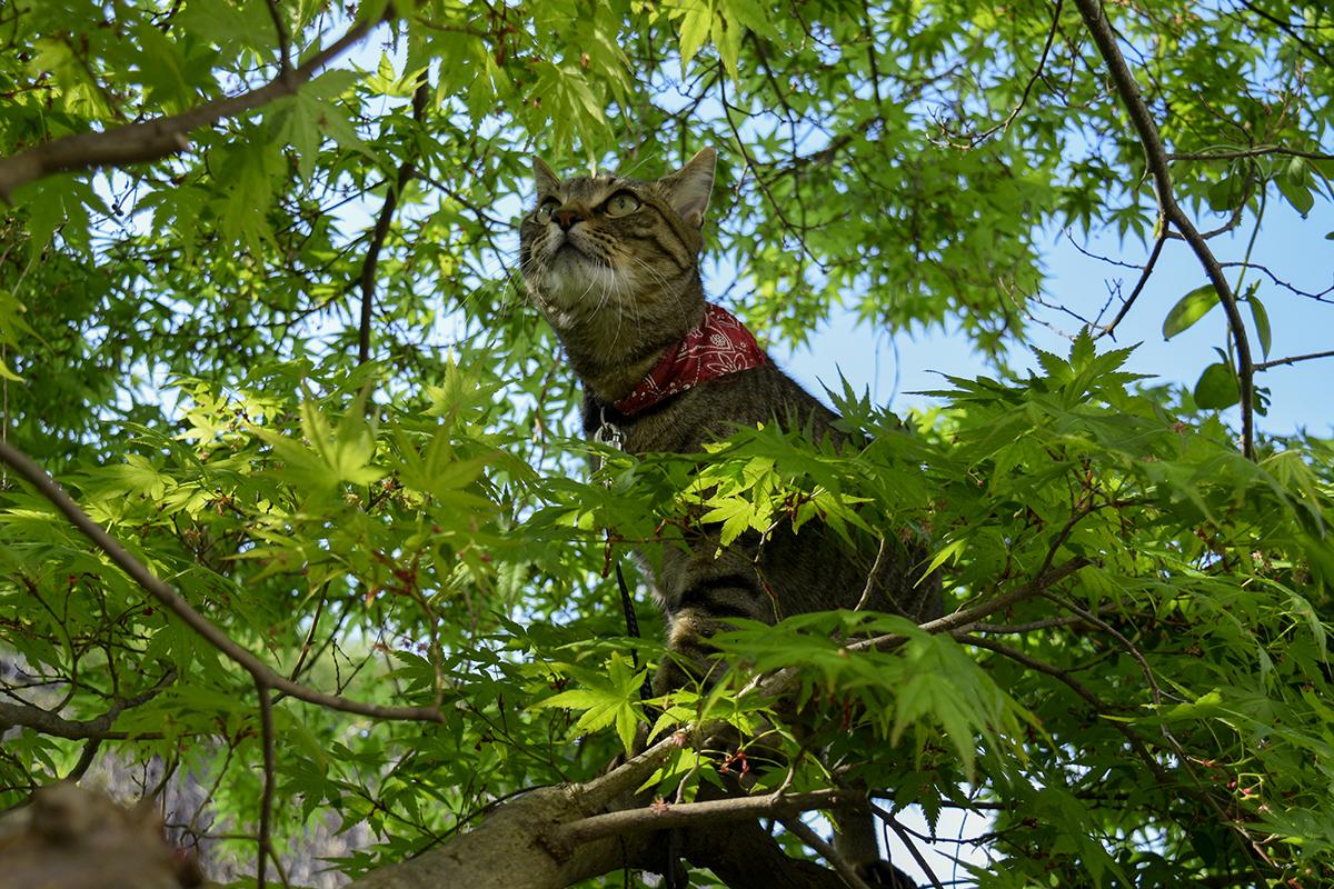 青空の緑がきれいな木の上に登るキジトラ猫の虎ノ介