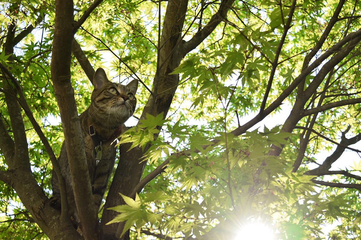 太陽の光と木々の緑に囲まれるキジトラ猫の虎ノ介