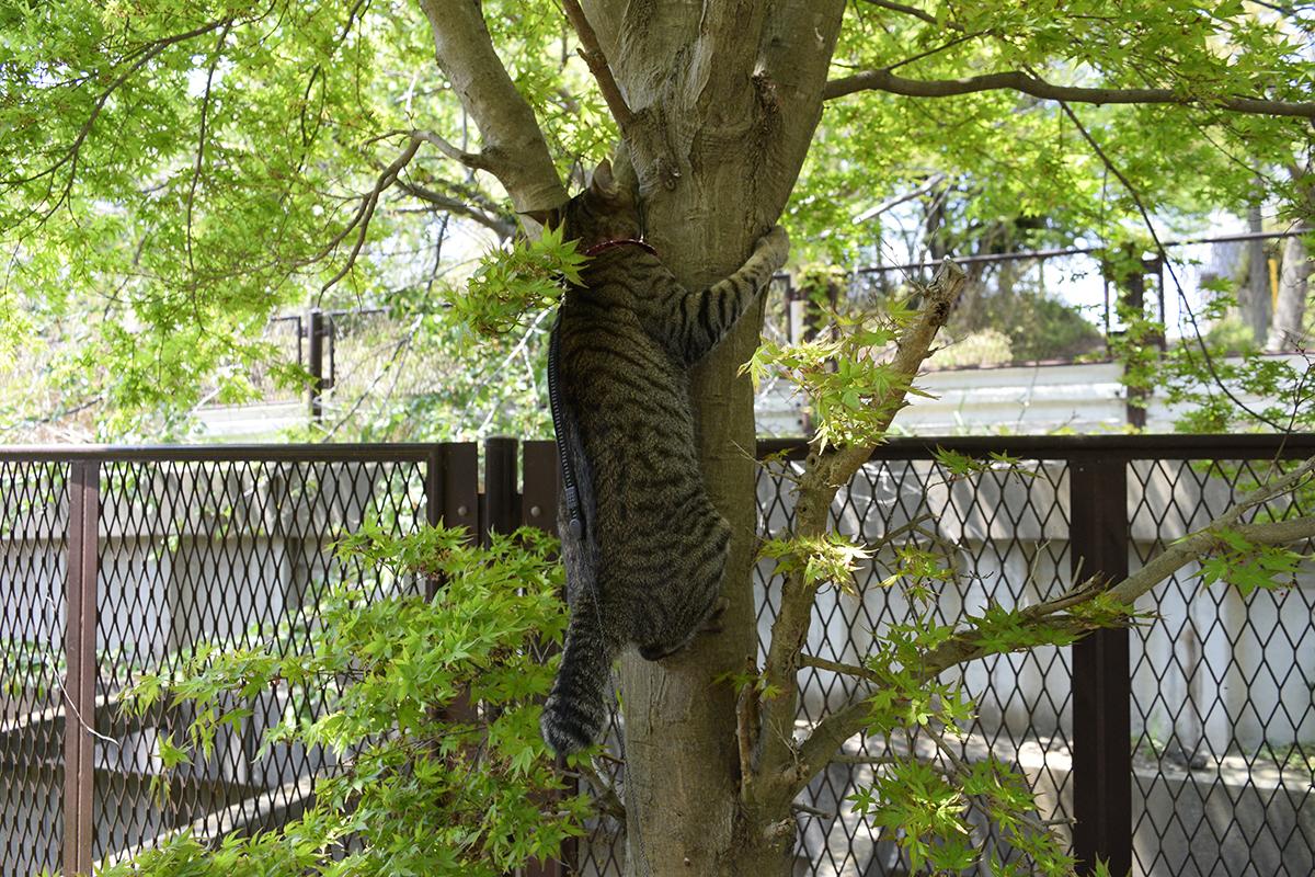 るキジトラ猫の虎ノ介
