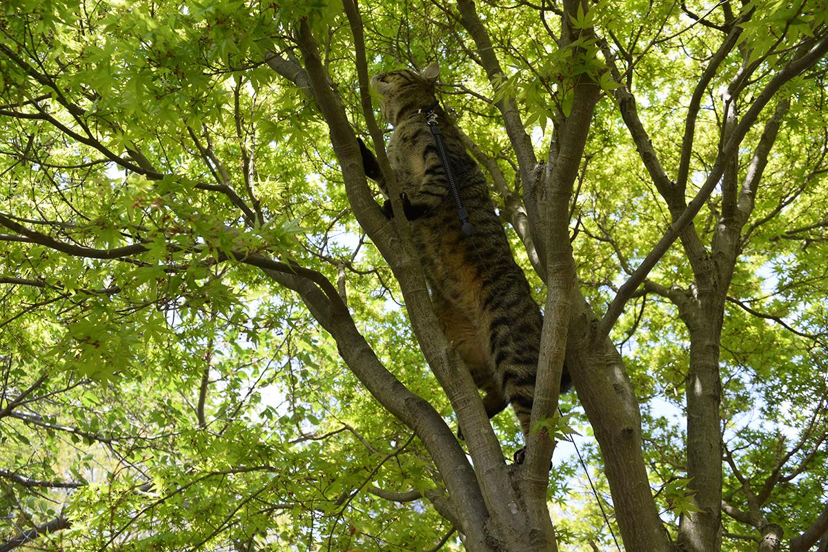 さらに上を目指して上っていくキジトラ猫の虎ノ介
