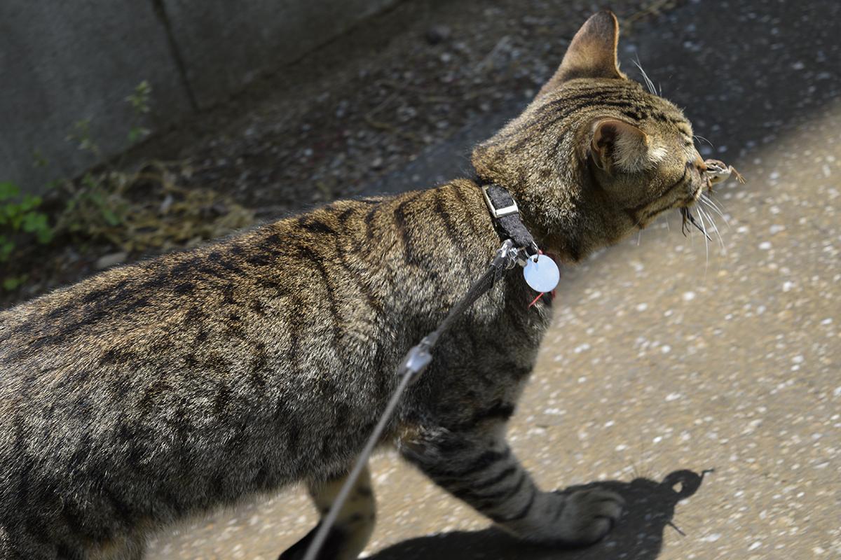 捕まえたカナヘビを咥えて歩くキジトラ猫の虎ノ介