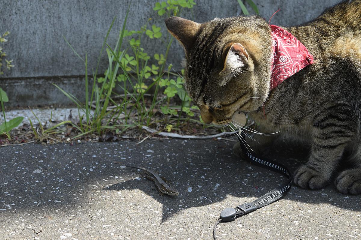 カナヘビを見つめるキジトラ猫の虎ノ介