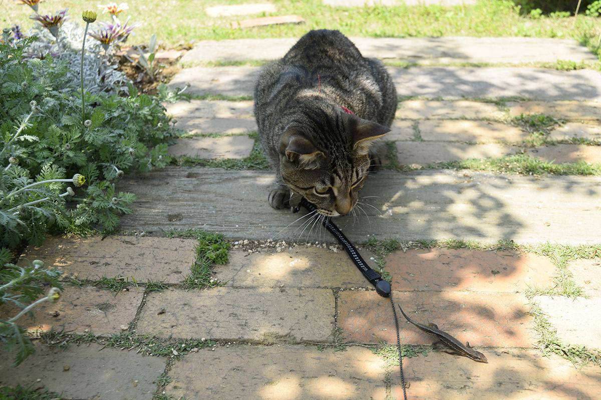 庭にカナヘビをもってきたキジトラ猫の虎ノ介