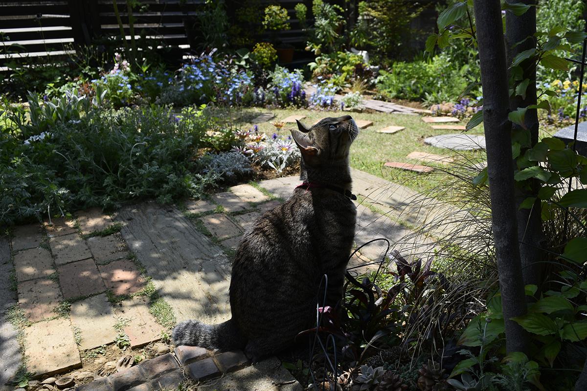 カナヘビを探して木の上をみるキジトラ猫の虎ノ介