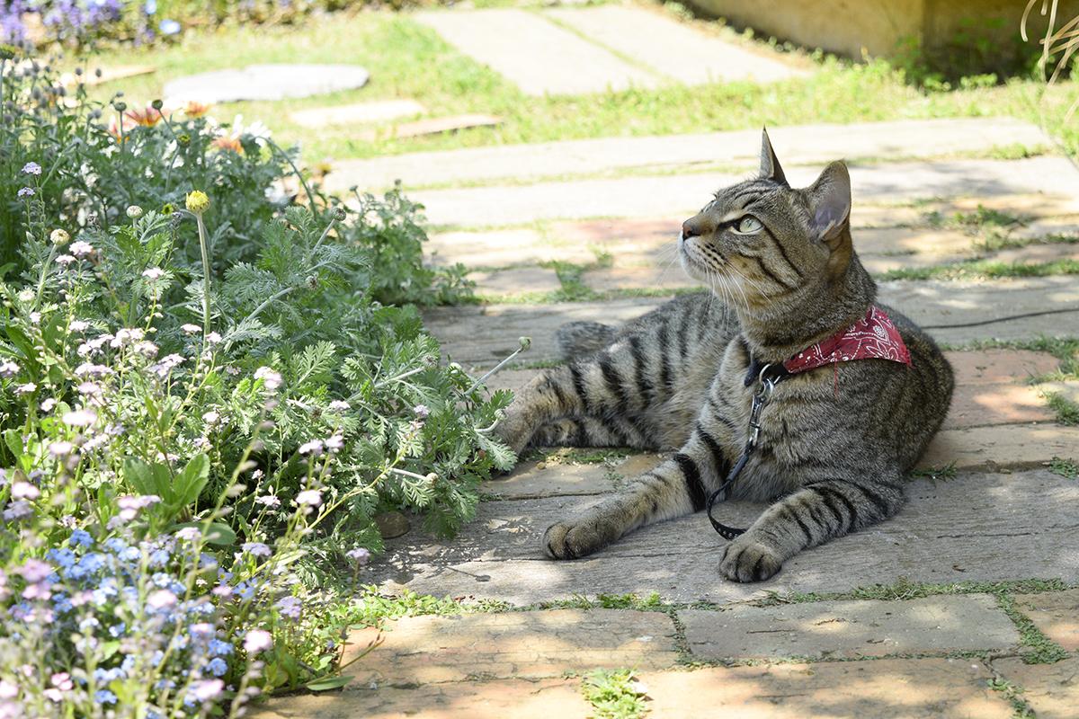 カナヘビを探して鉢の上をみるキジトラ猫の虎ノ介