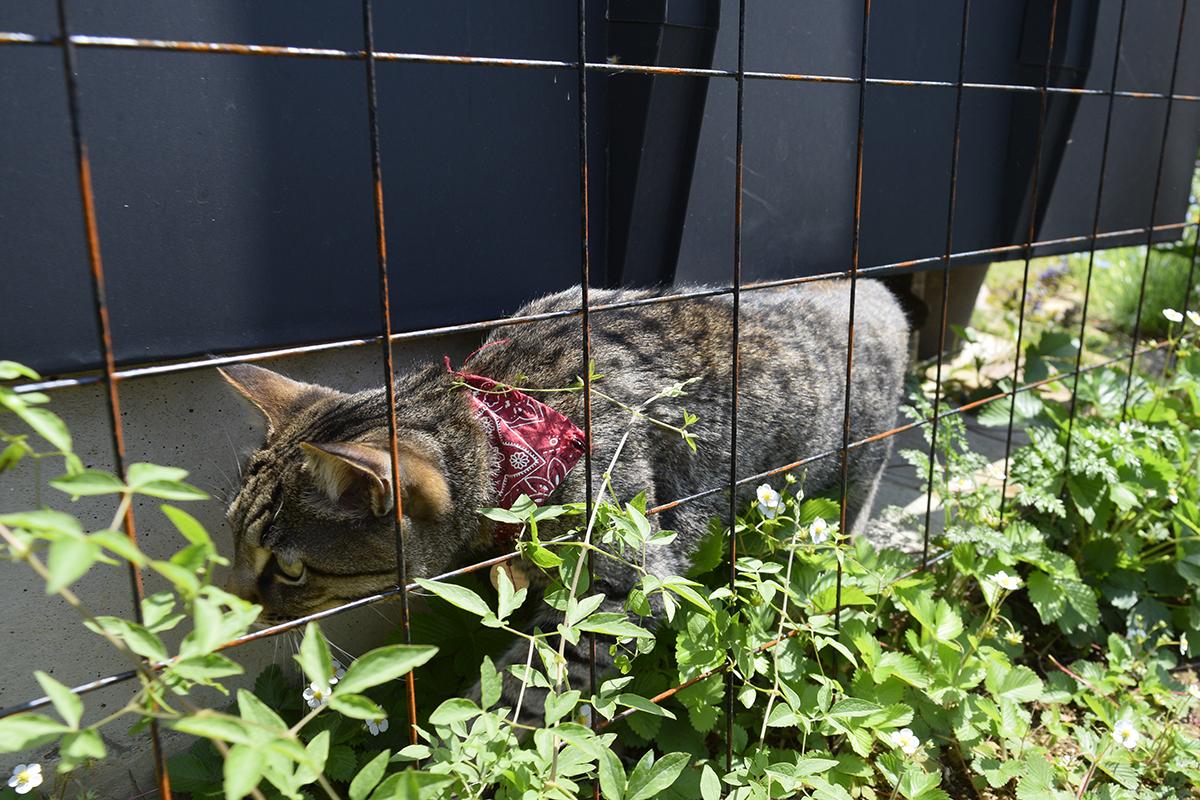 カナヘビを探して花壇を歩くキジトラ猫の虎ノ介