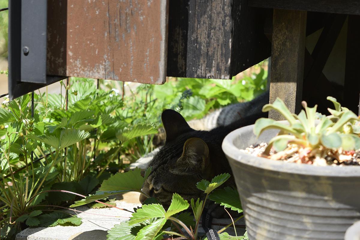 カナヘビがいなくて拗ねるキジトラ猫の虎ノ介