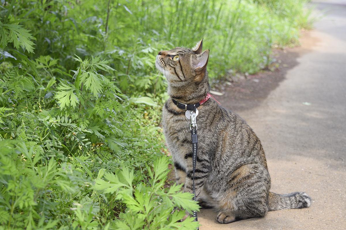 よいお天気の中で散歩を開始するキジトラ猫の虎ノ介