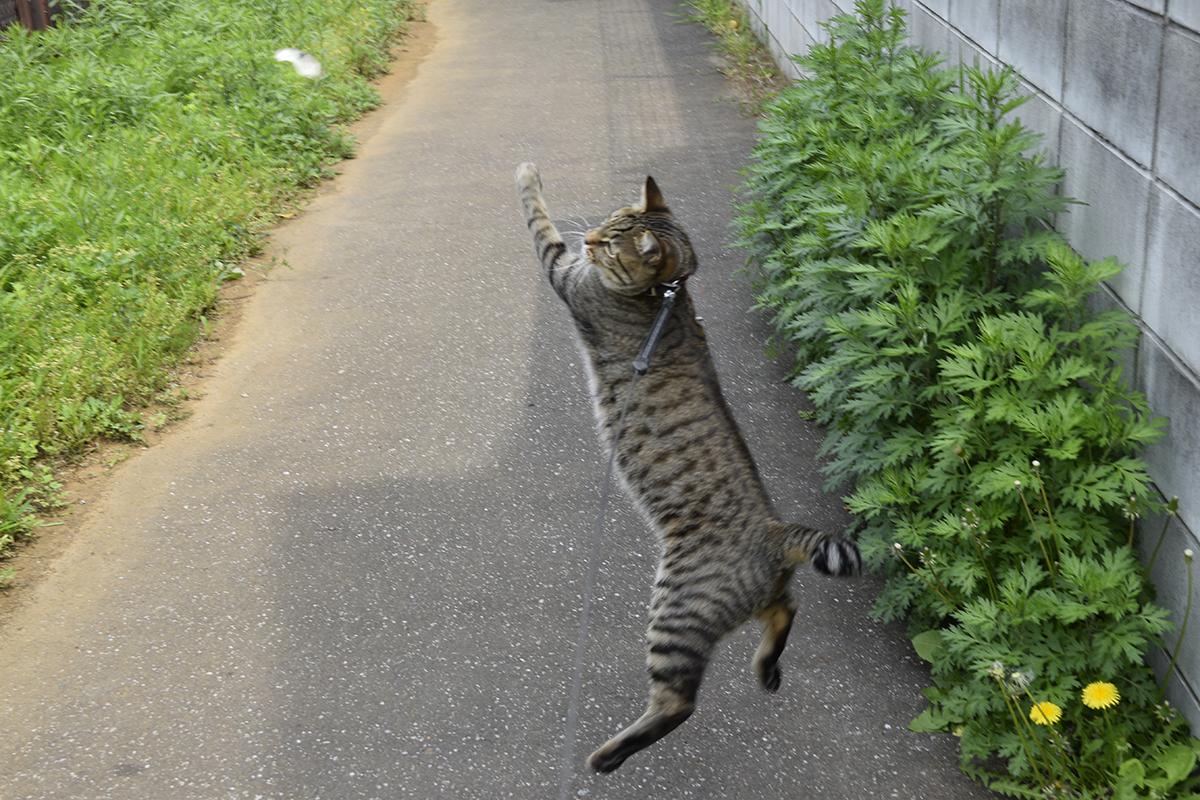 蝶をみつけ飛びつくキジトラ猫の虎ノ介